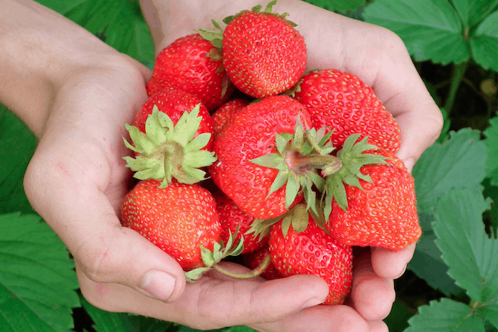 GMO free strawberries in Ireland, where genetically modified crops were banned