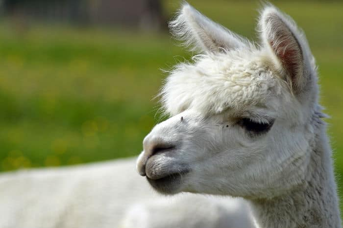 Alpaca poop and government waste
